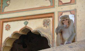 Jaipur et les singes de la montagne sacrée
