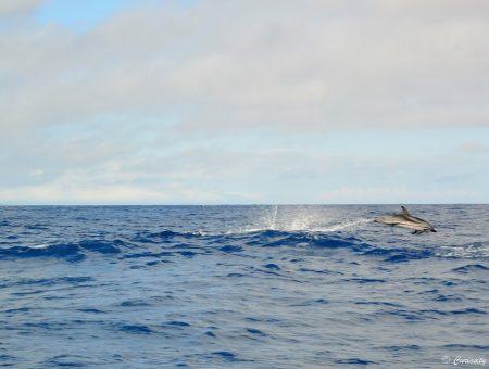 Rencontrer les baleines et + aux Açores