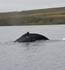 Les baleines de l'Eyjafjord