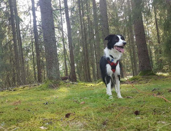 La Suède avec son chien : une destination dog-friendly